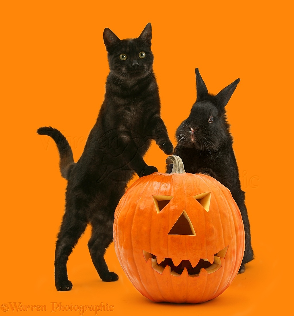 Black Cat And Black Rabbit With Halloween Pumpkin, White Background