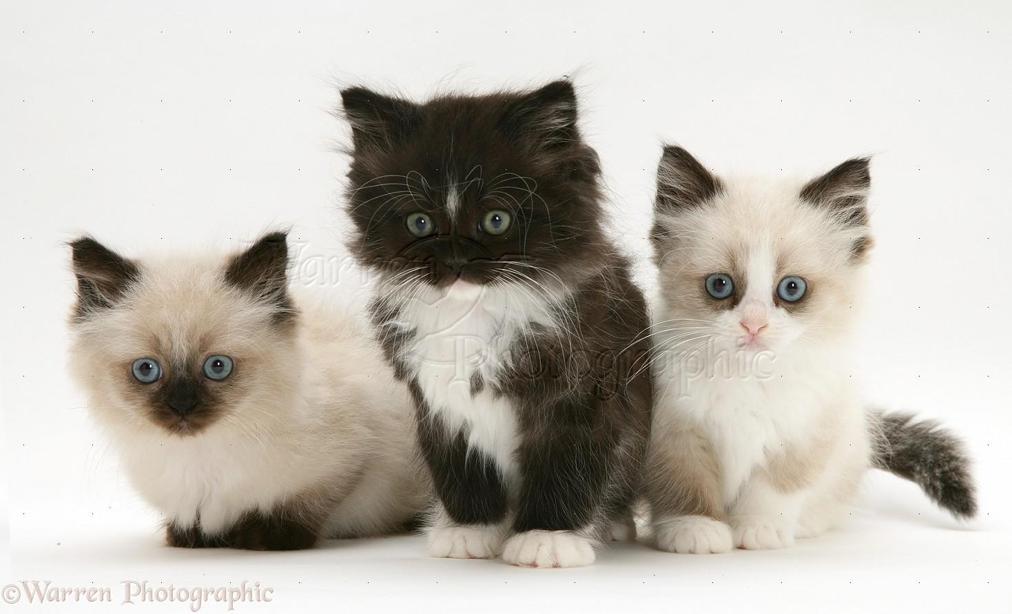 X Persian Kittens Birman-cross Persian kittens
