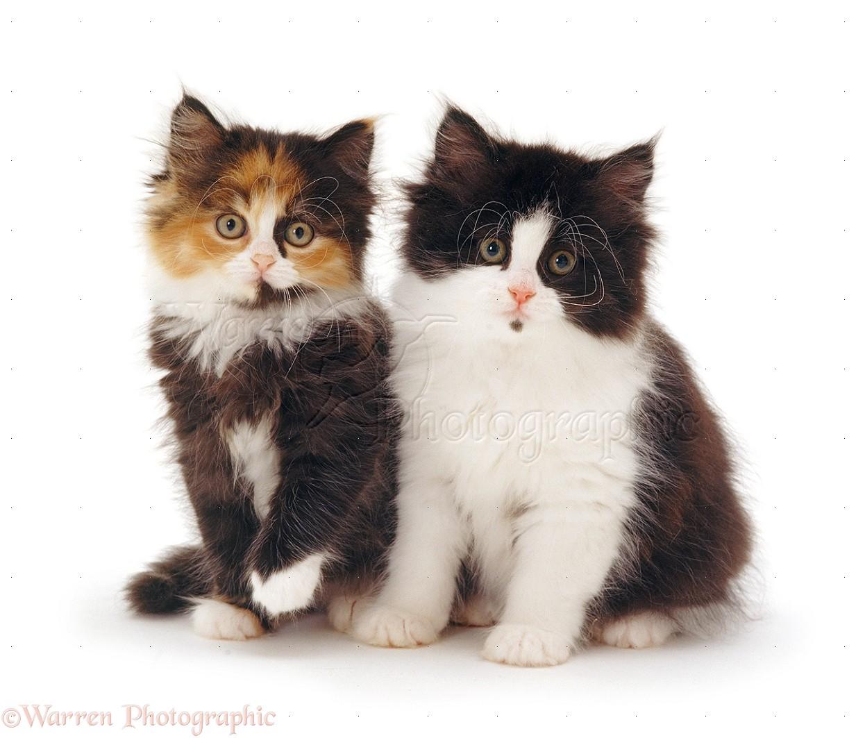 Black And White And Tortoiseshell Kittens Photo Wp32053