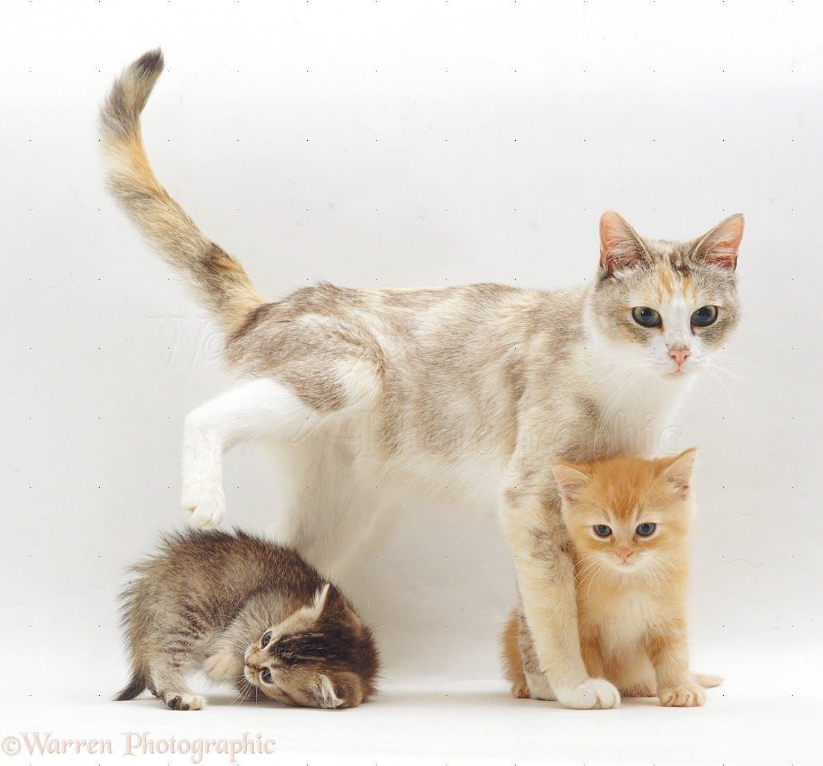 Wp32066 silver tortoiseshell and white mother cat pearl with two