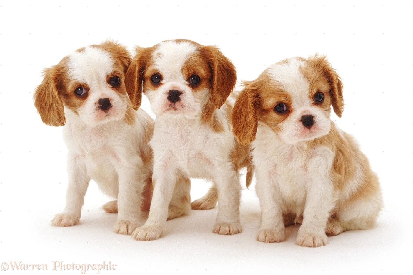 Dogs blenheim cavalier king charles spaniel pups 6 weeks old blenheim cavalier king charles spaniel pups 6 weeks old altavistaventures Images