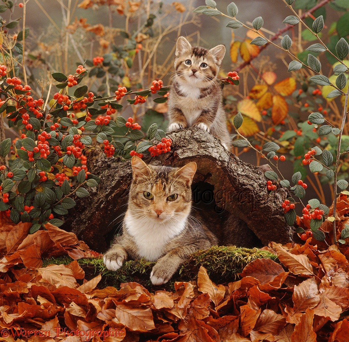 Mother Cat In Hollow Log With Playful Kitten Photo WP32153