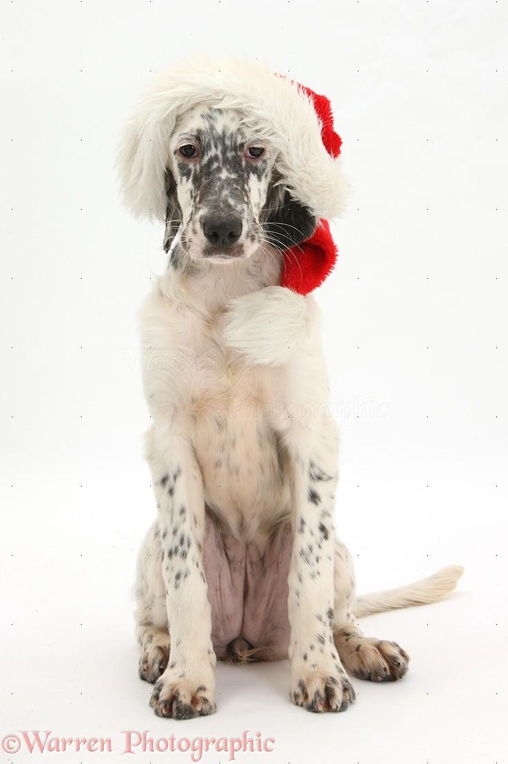 dog  blue belton english setter pup wearing a santa hat
