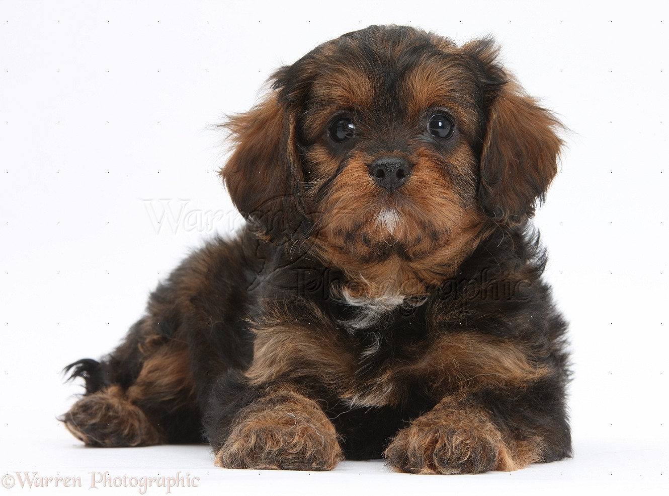 Dog Red Merle Cavapoo Pup Photo Wp32267
