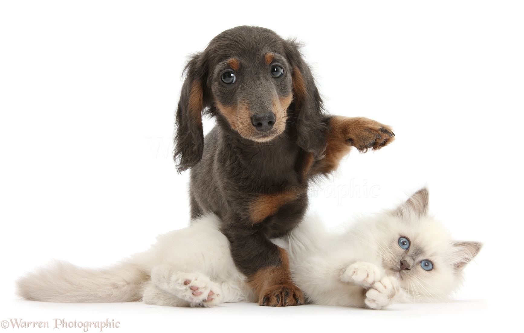 Delightful dogs photography white background pictures blue point kitten and blue and tan dachshund pup voltagebd Gallery