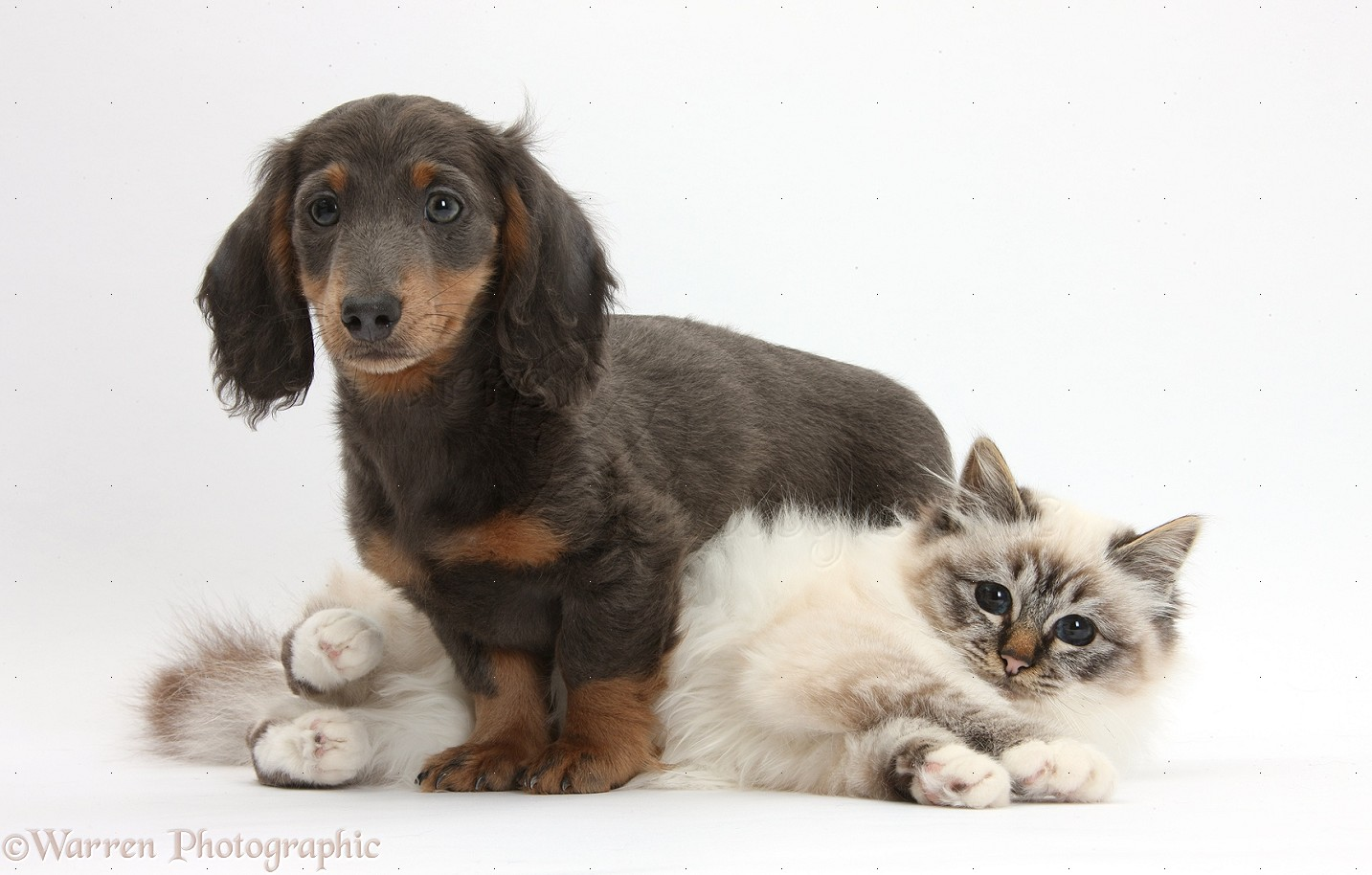 Cats And Dogs Blue