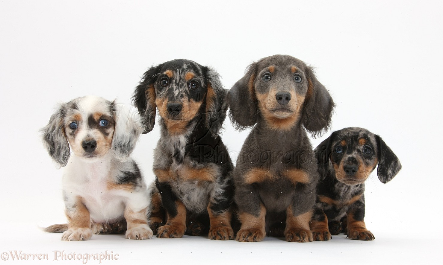 Dogs assorted dachshund pups photo wp32374 for Bassotto prezzo