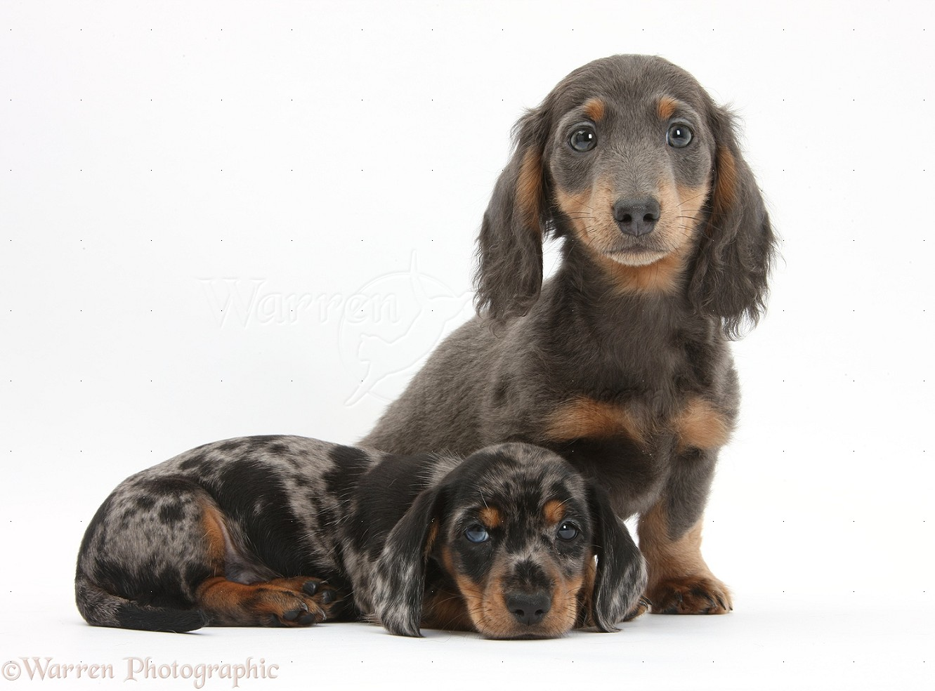 Dogs Blue And Tan And Tricolour Merle Dachshund Pups Photo Wp32376