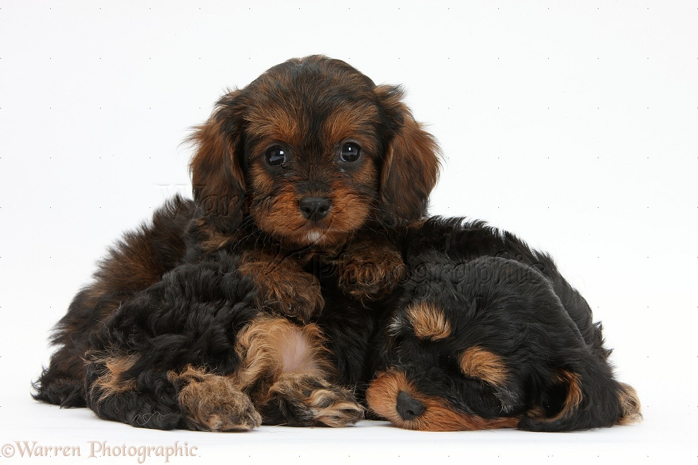 Cavapoo Haircut http://www.warrenphotographic.co.uk/32381-sleepy-black-and-tan-cavapoo-pups