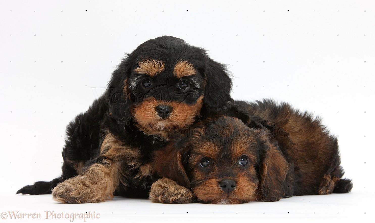 Cavapoo Dog Black
