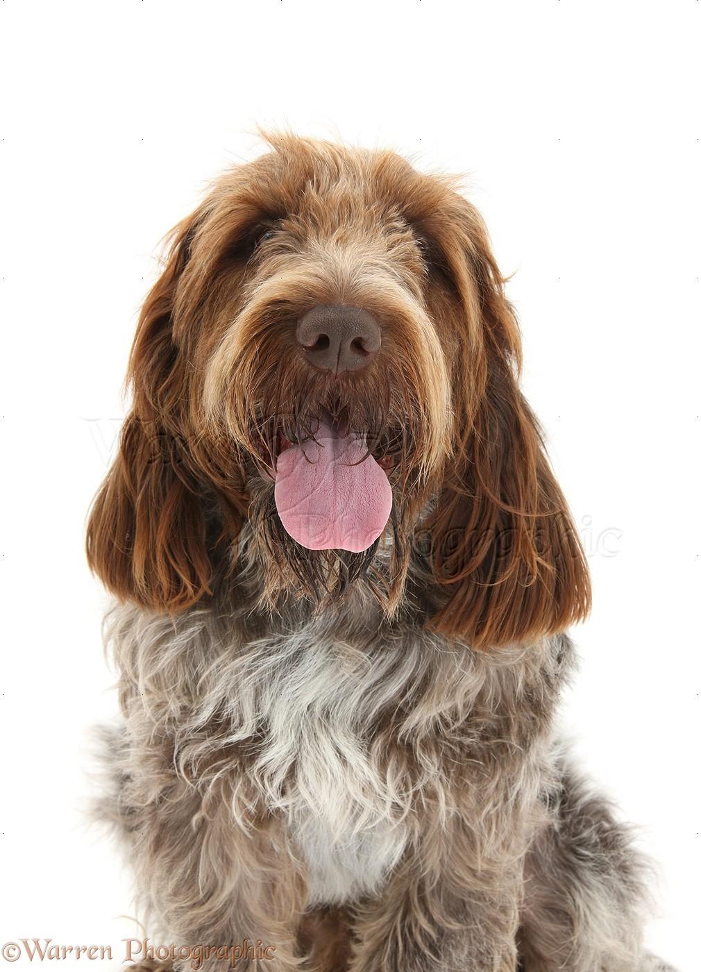 Image of italian spinone brown roan young puppy blue sitting cute - Brown Roan Italian Spinone Dog Bulldog Pup