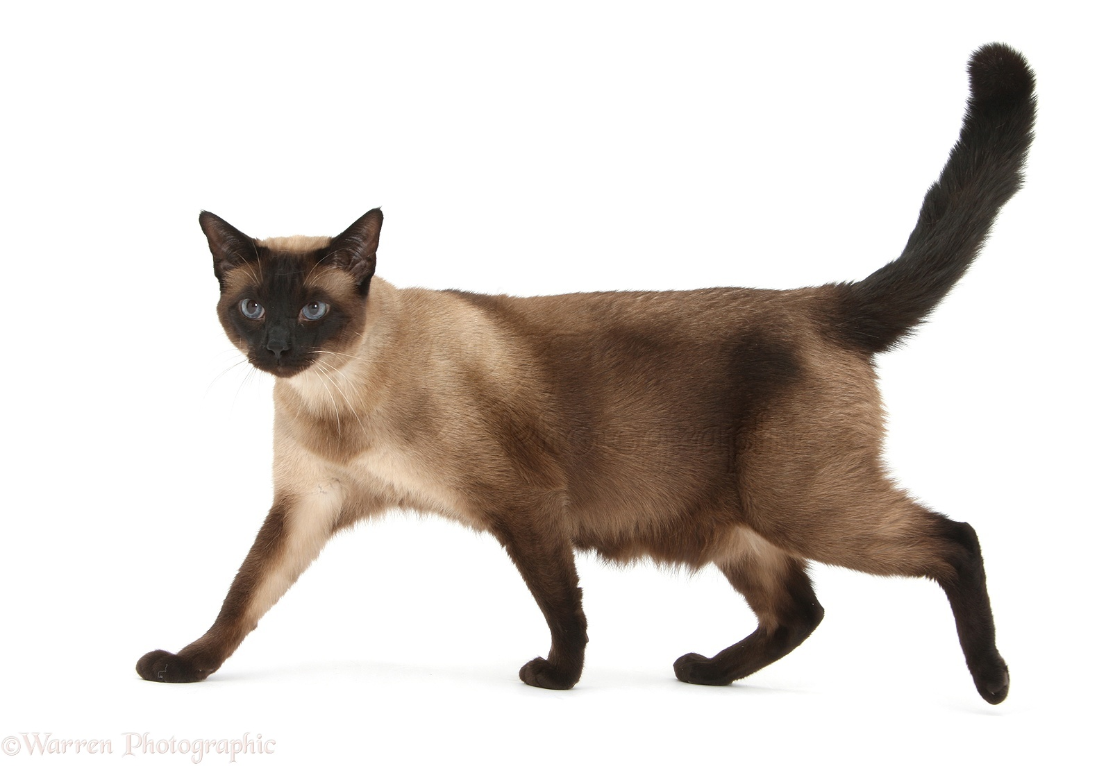 Seal point Siamese-cross cat photo - WP32395