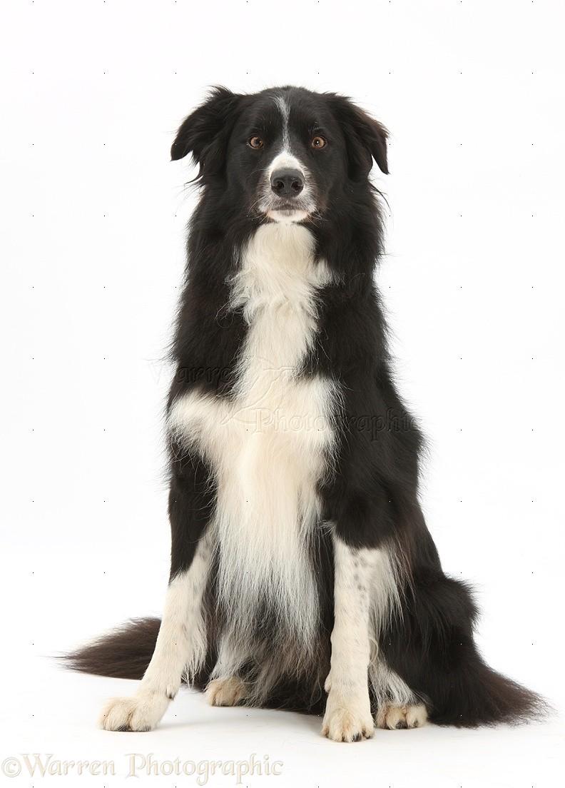 Black-and-white Border Collie dog photo WP32434