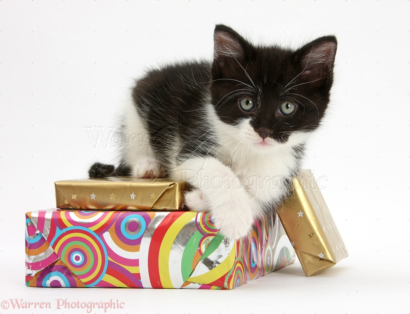 Birthday Kittens Images Kitten Lying on Birthday