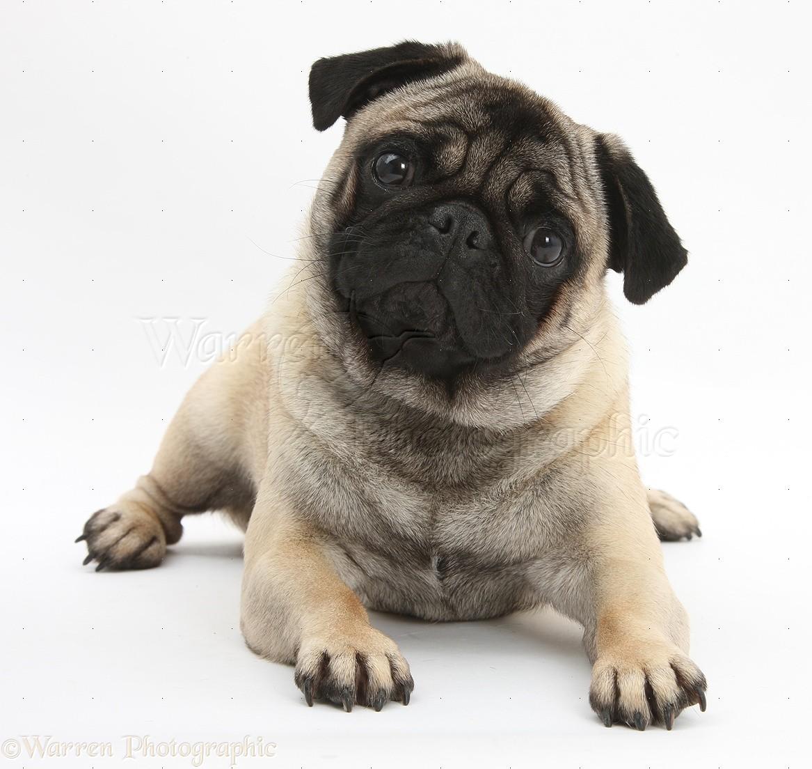 Pug dog pug nose dogs cute pug dog puggle dog breed beagle pug dog
