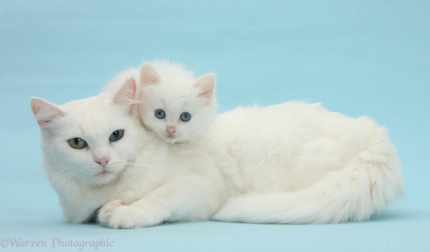 Kitten Adult Cat