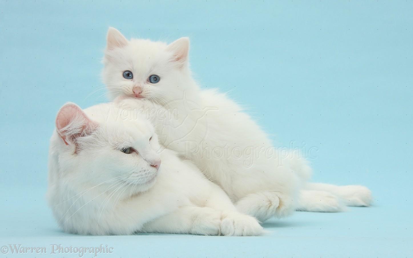 White kitten lounging on blue background photo WP39880   White Cats Blue Background