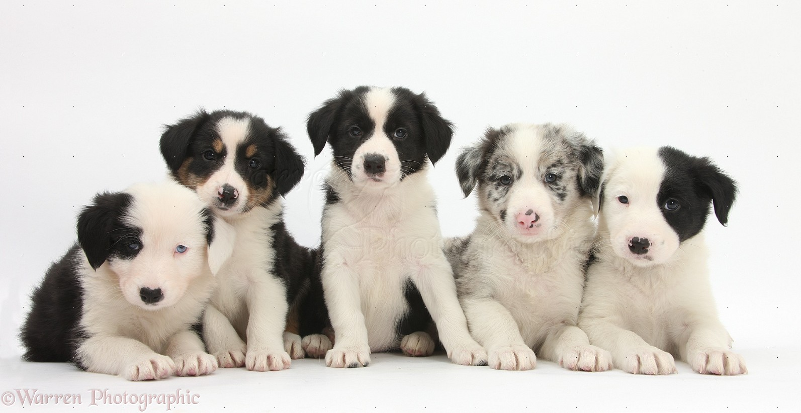 Dogs: Five Border Collie pups, 6 weeks old photo WP32498