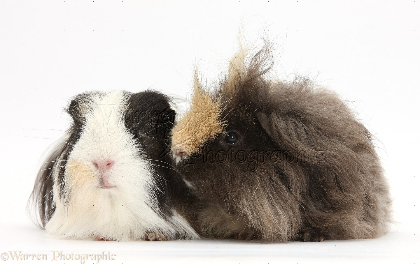Long haired guinea pig - photo#24