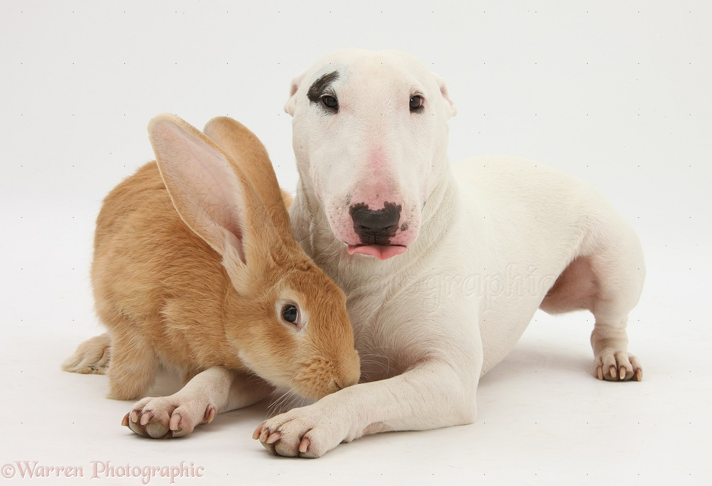 ... Flemish Giant rabbit, Toffee , and Miniature Bull Terrier bitch, Noah