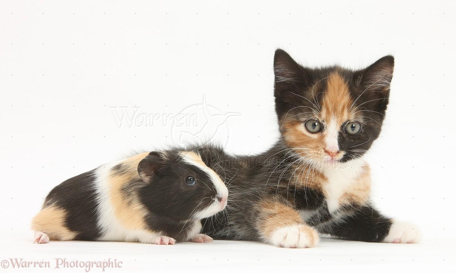 Tortoiseshell cat kitten tortoiseshell kitten with baby
