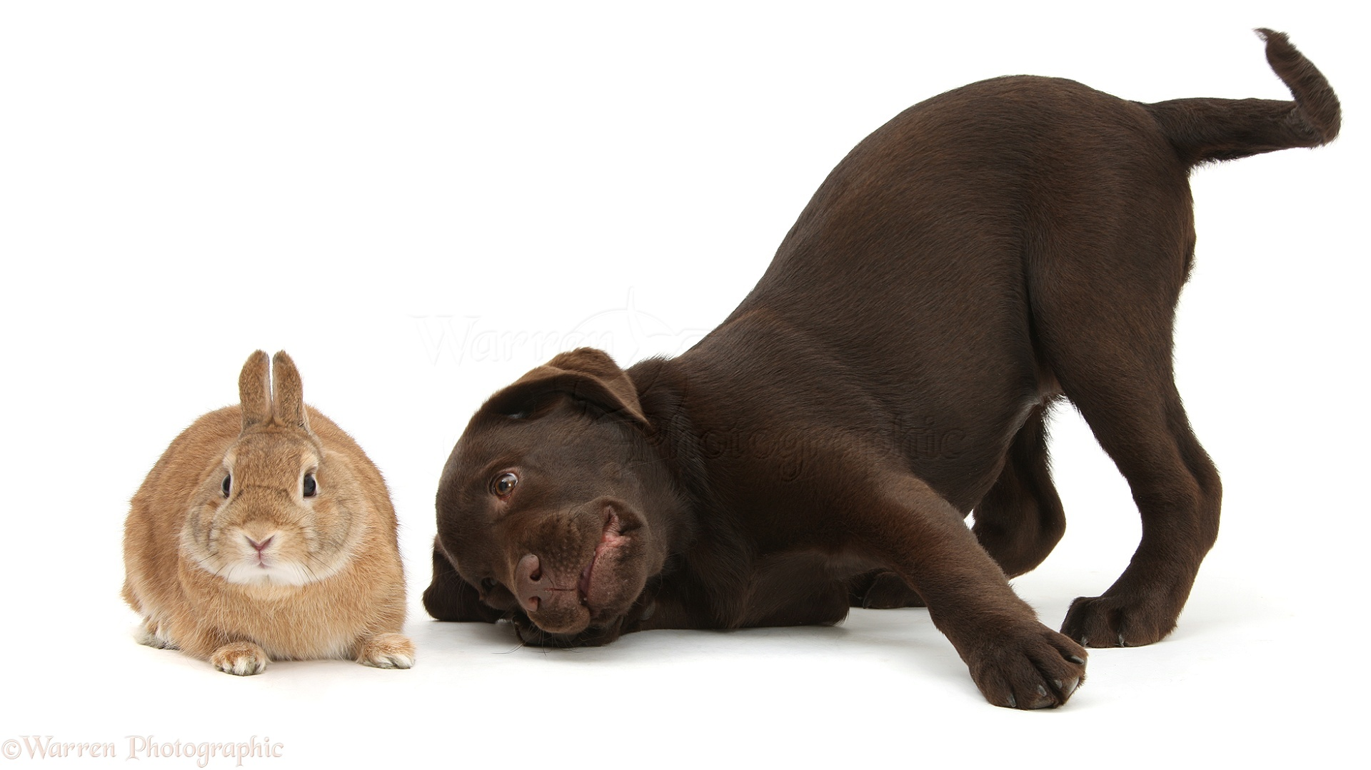 What Is The Best Dog Treat For Chocolate Labrador