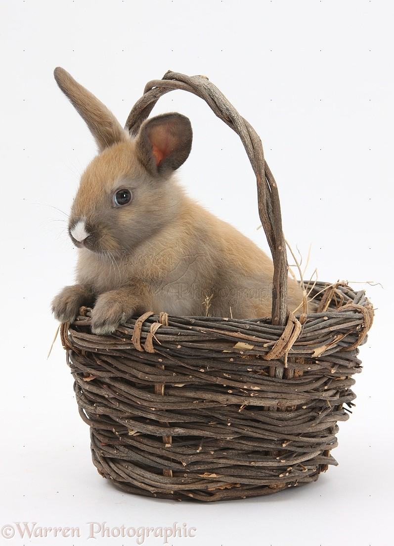 WP32901 Baby rabbit in a wicker basket.