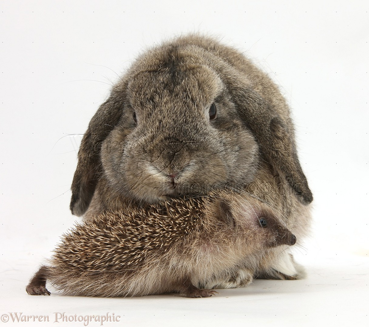 Baby Hedgehog and agouti Lop rabbit photo WP32945
