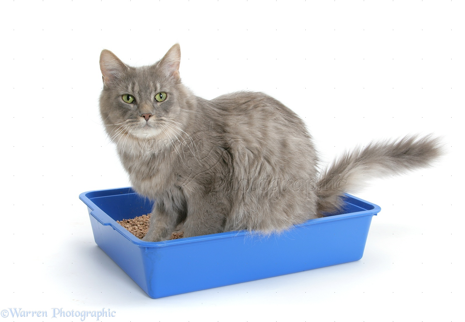 WP32959 Adult Maine Coon female cat, Serafin , using a litter tray.