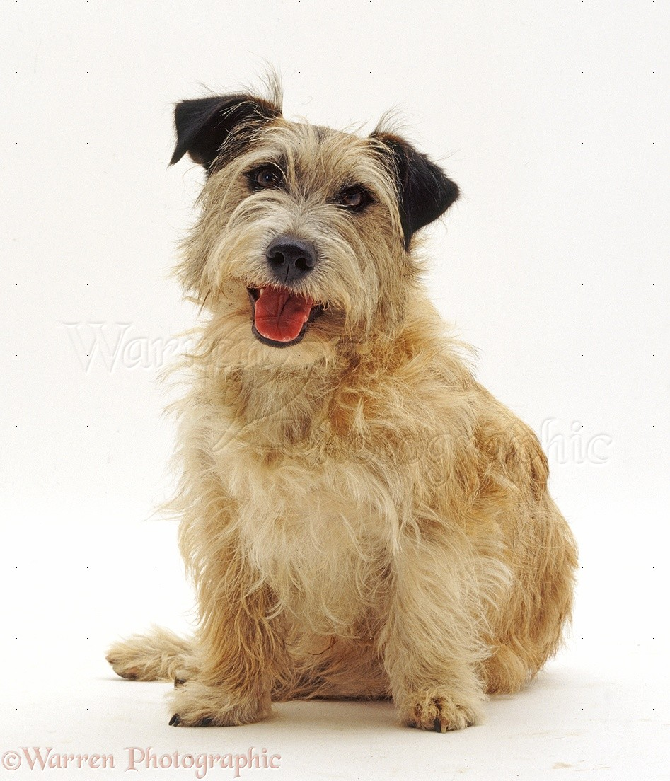 Patterdale x Jack Russell Terrier dog photo WP33017