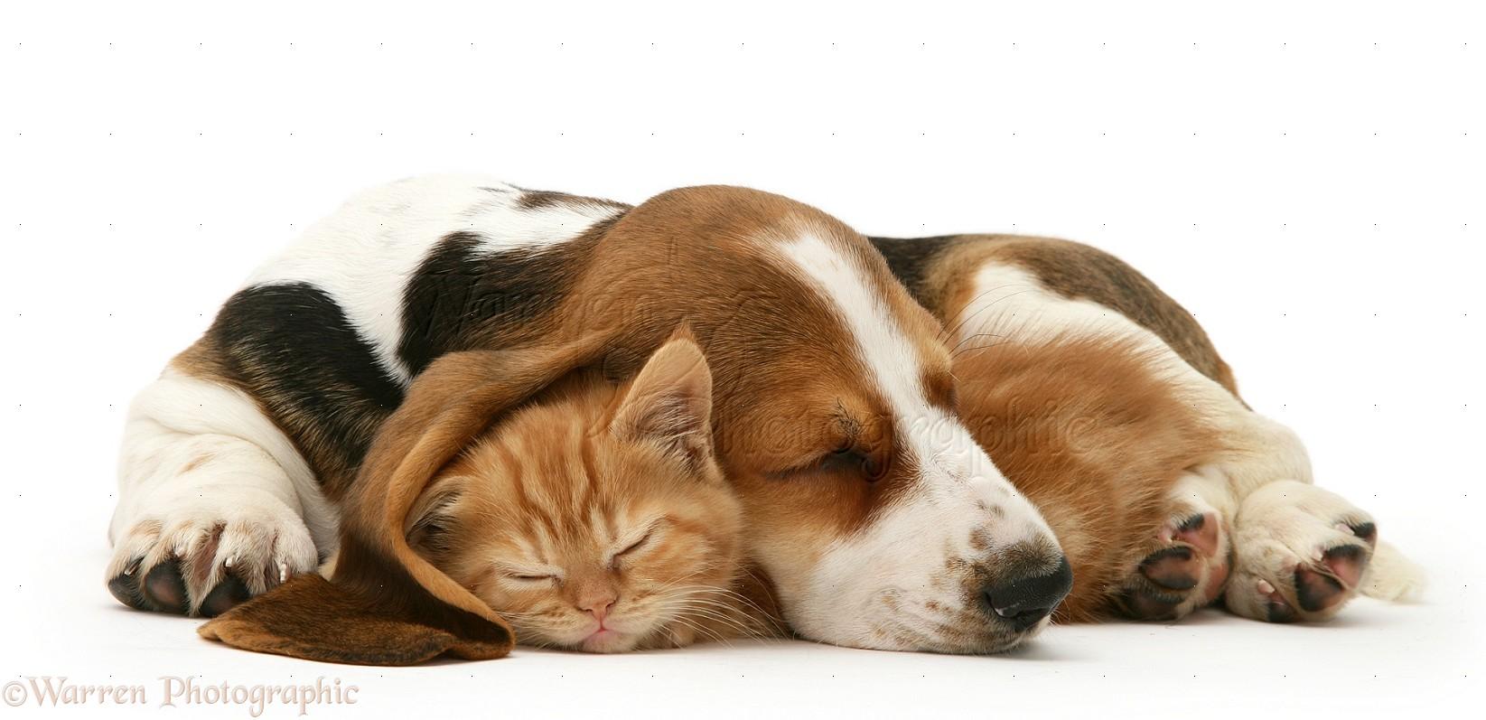 Pets: Ginger kitten asleep under the ear of a sleeping Basset pup ...