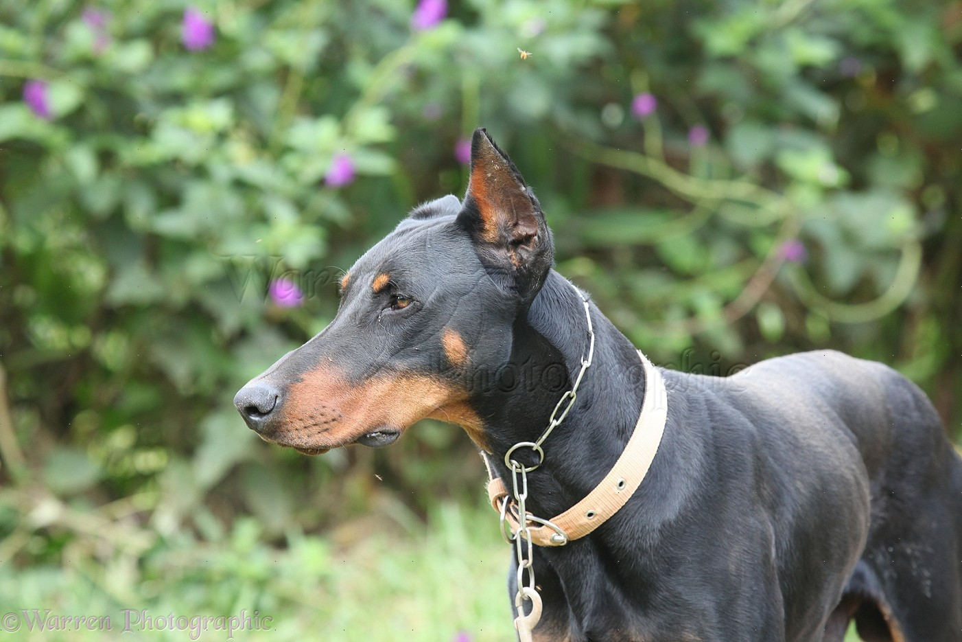 Dogs With Clipped Ears In Uk