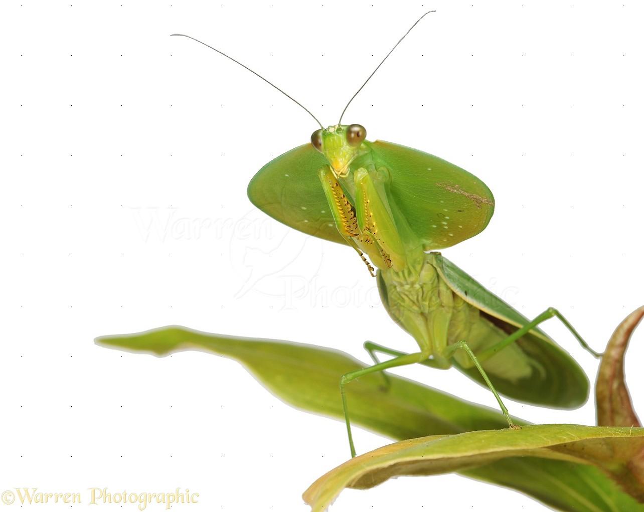 Leaf Mantis Photo Wp33232