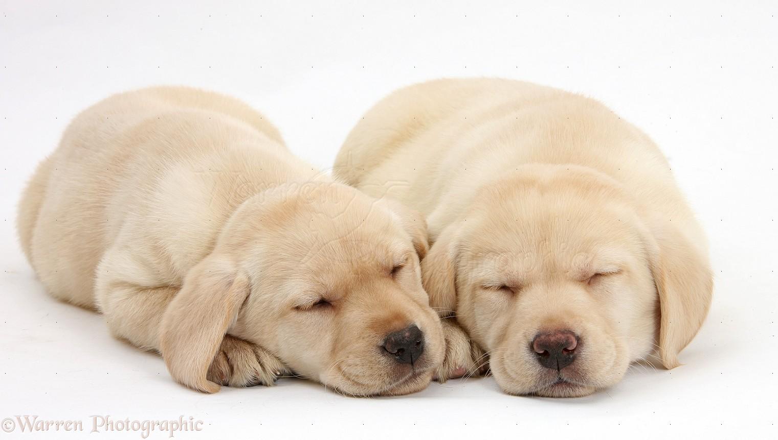 yellow lab puppy sleeping - photo #22