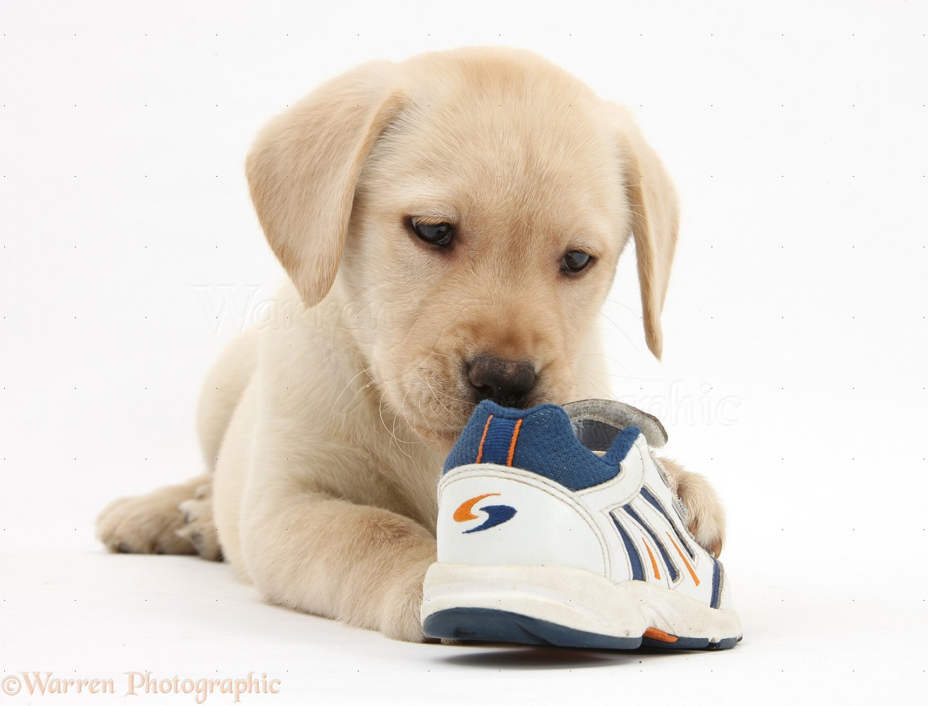 Dog: Yellow Labrador pup chewing a child's shoe photo WP33557