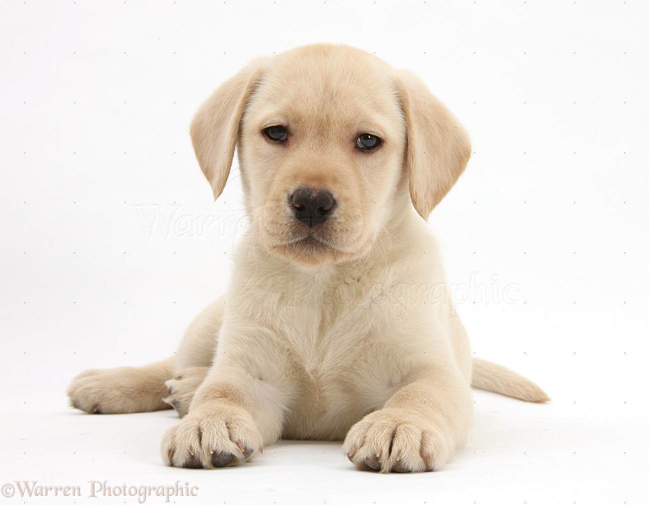 WP33558 Yellow Labrador Retriever pup  8 weeks old White And Yellow Labrador Retriever
