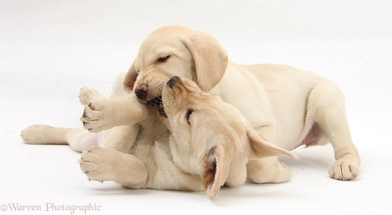 Dogs Yellow Labrador Retriever Puppies Play Fighting