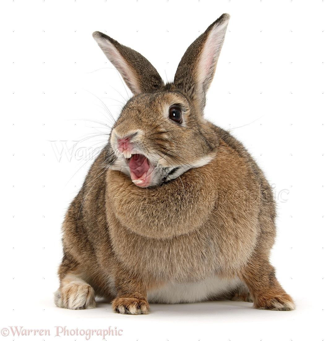 agouti rabbit yawning photo wp33595 rabbits dvd 1972 rabbits deutsch