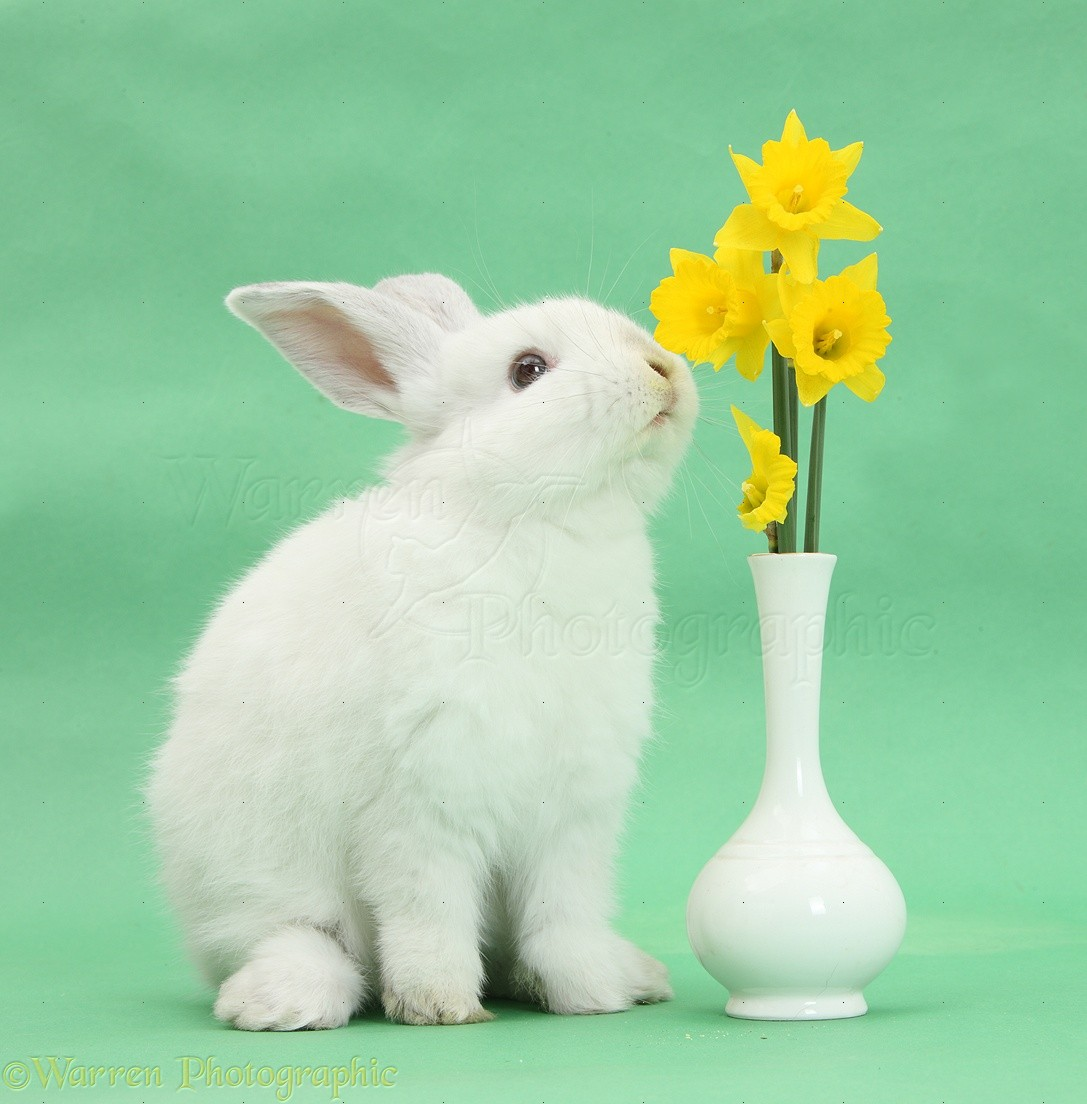 http://www.warrenphotographic.co.uk/photography/bigs/33647-Young-white-rabbit-eating-daffodils-from-a-vase.jpg