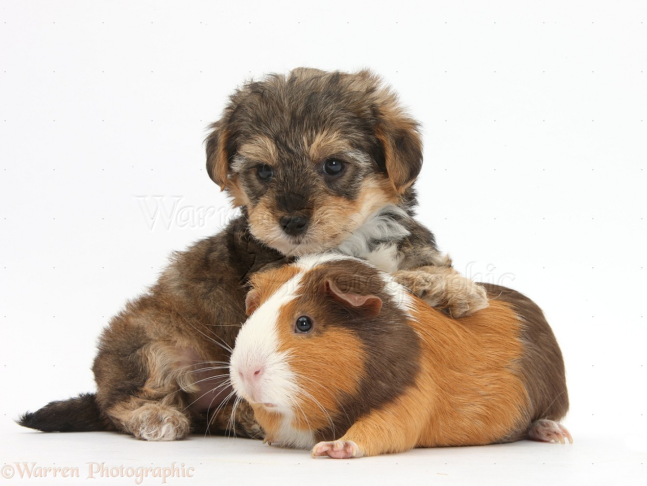 The gallery for --> Black And Brown Yorkie Poo Puppies