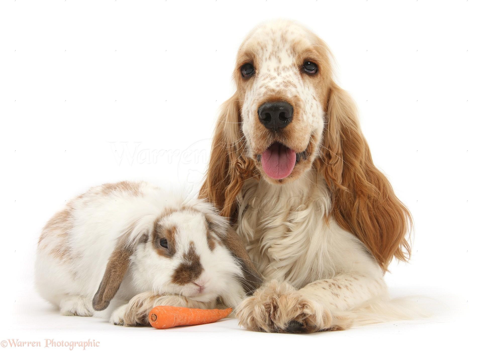 pets orange cocker spaniel and rabbit photo wp33755