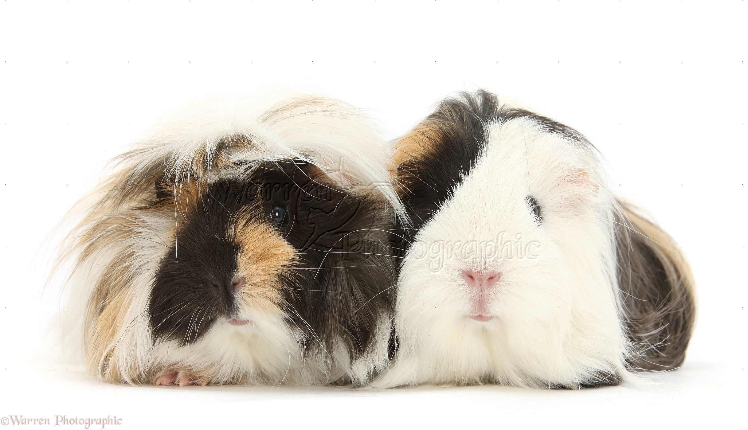 Long haired guinea pig - photo#10