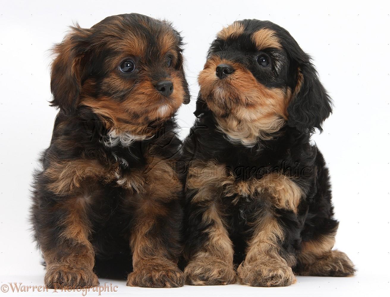 dogs black and tan cavapoo pups photo   wp33809