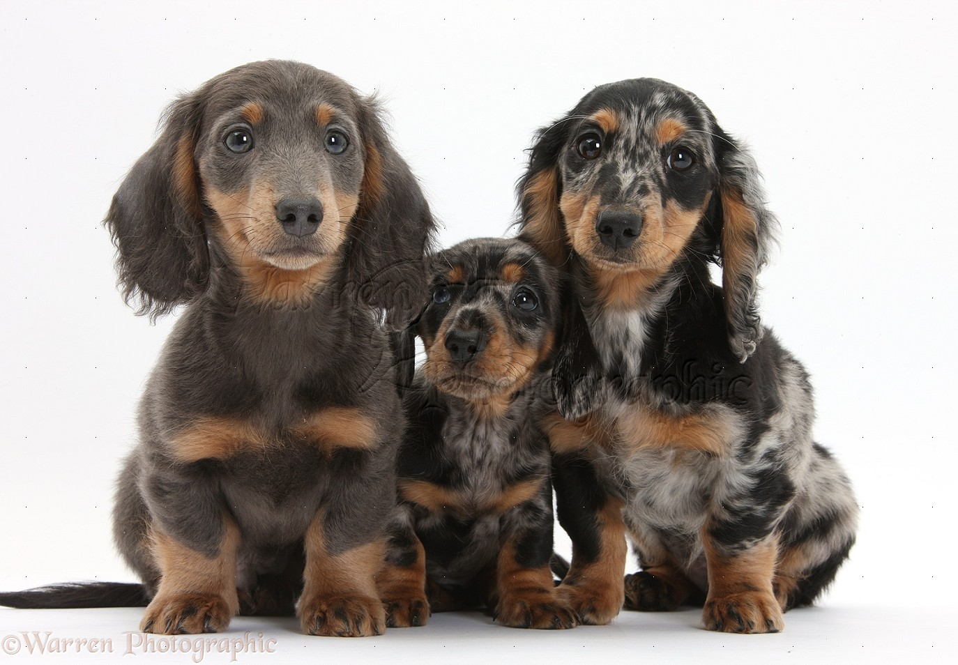 Dogs Blue And Tan And Tricolour Merle Dachshund Pups Photo Wp33825
