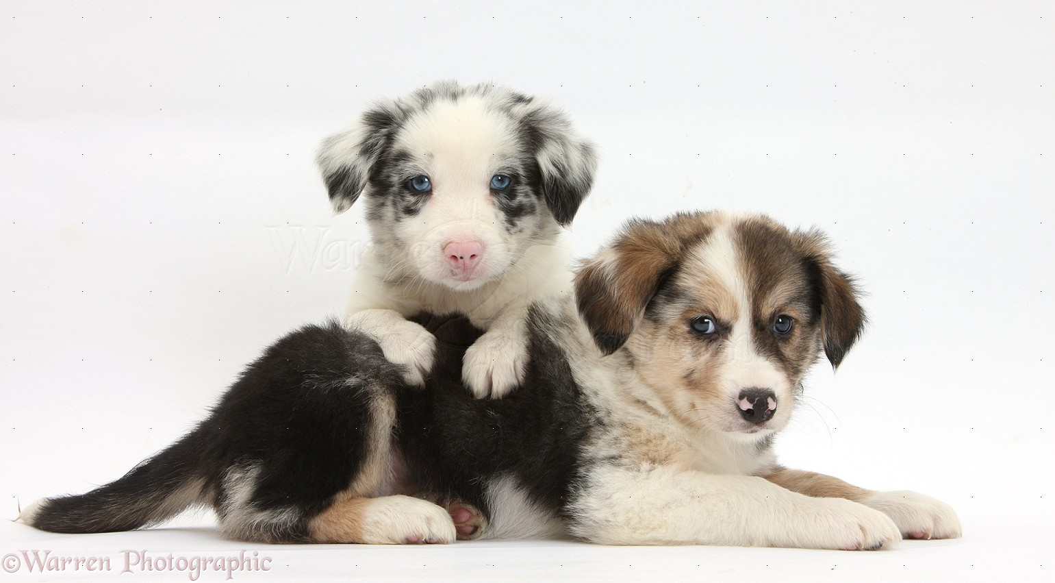 Dogs Tricolour And Merle Border Collie Puppies 6 Weeks Old Photo Wp33832