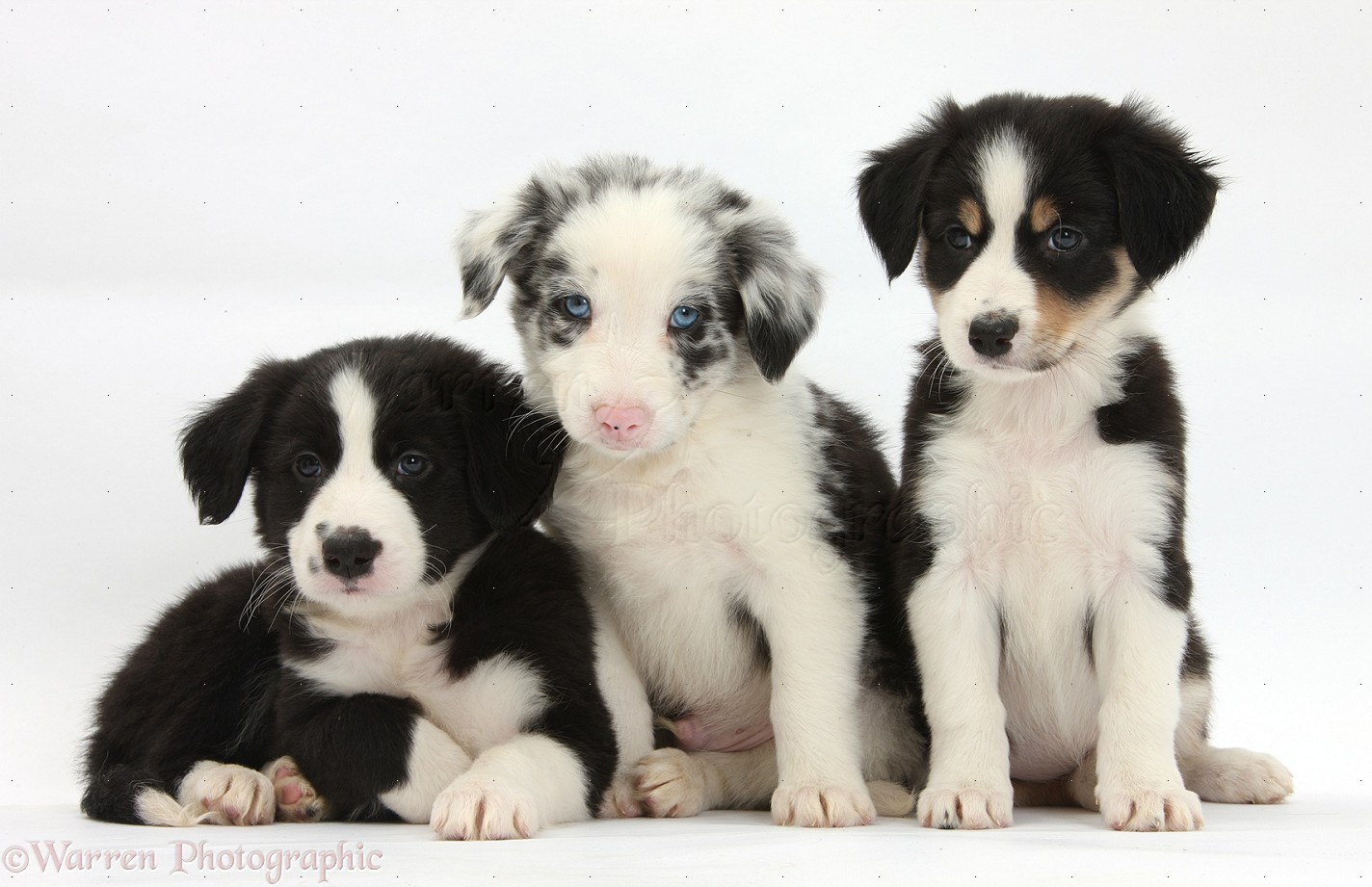 Dogs Border Collie Puppies 6 Weeks Old Photo Wp33833