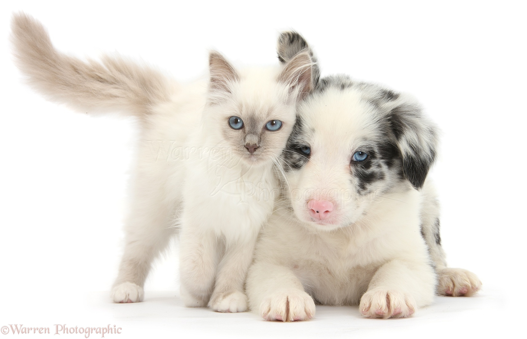 Pin images blue merle border collie dekreu reu wallpaper on pinterest -  7 Pin White And Merle Longhaired Puppy On Pinterest