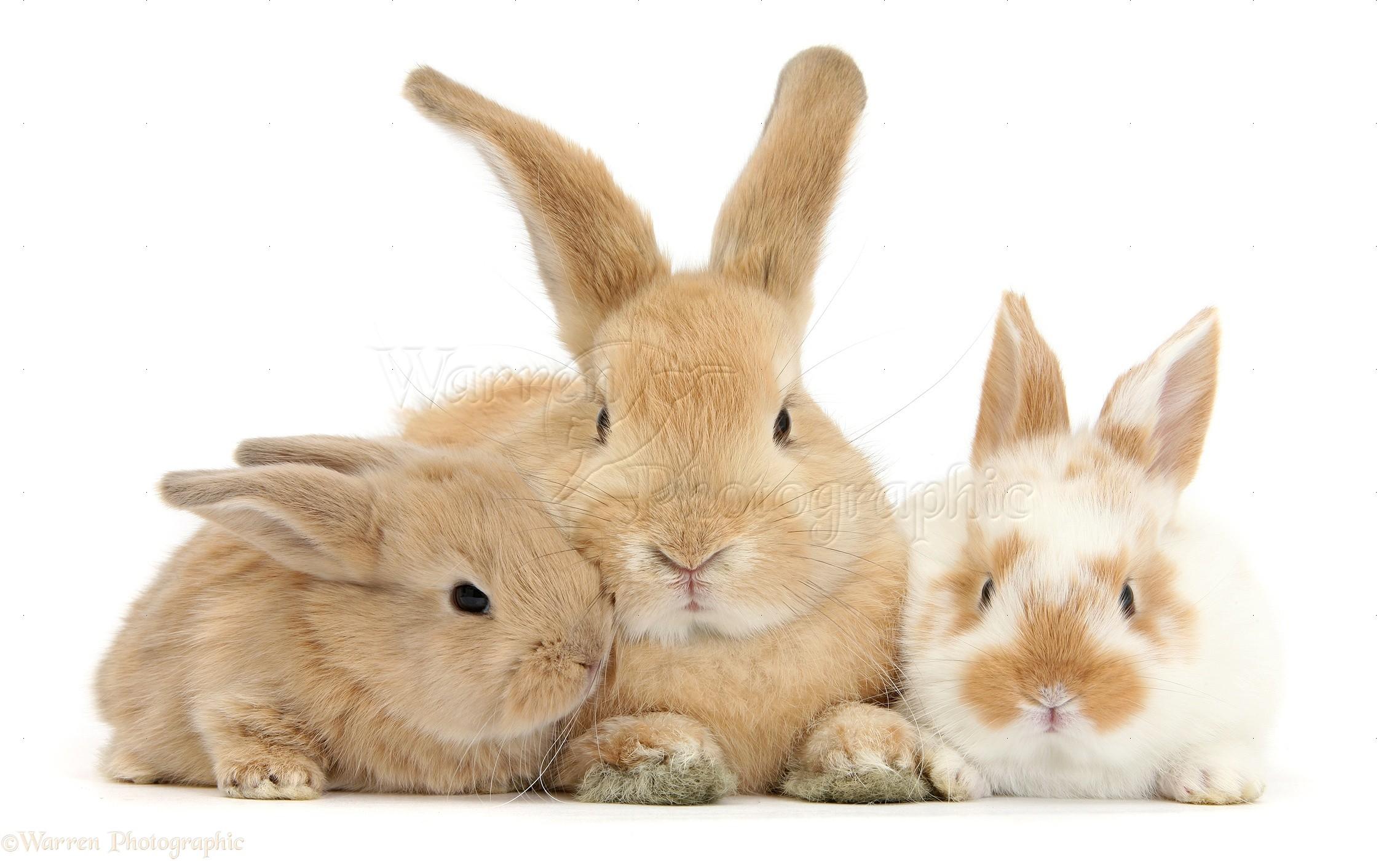 sandy rabbit and babies photo wp33882