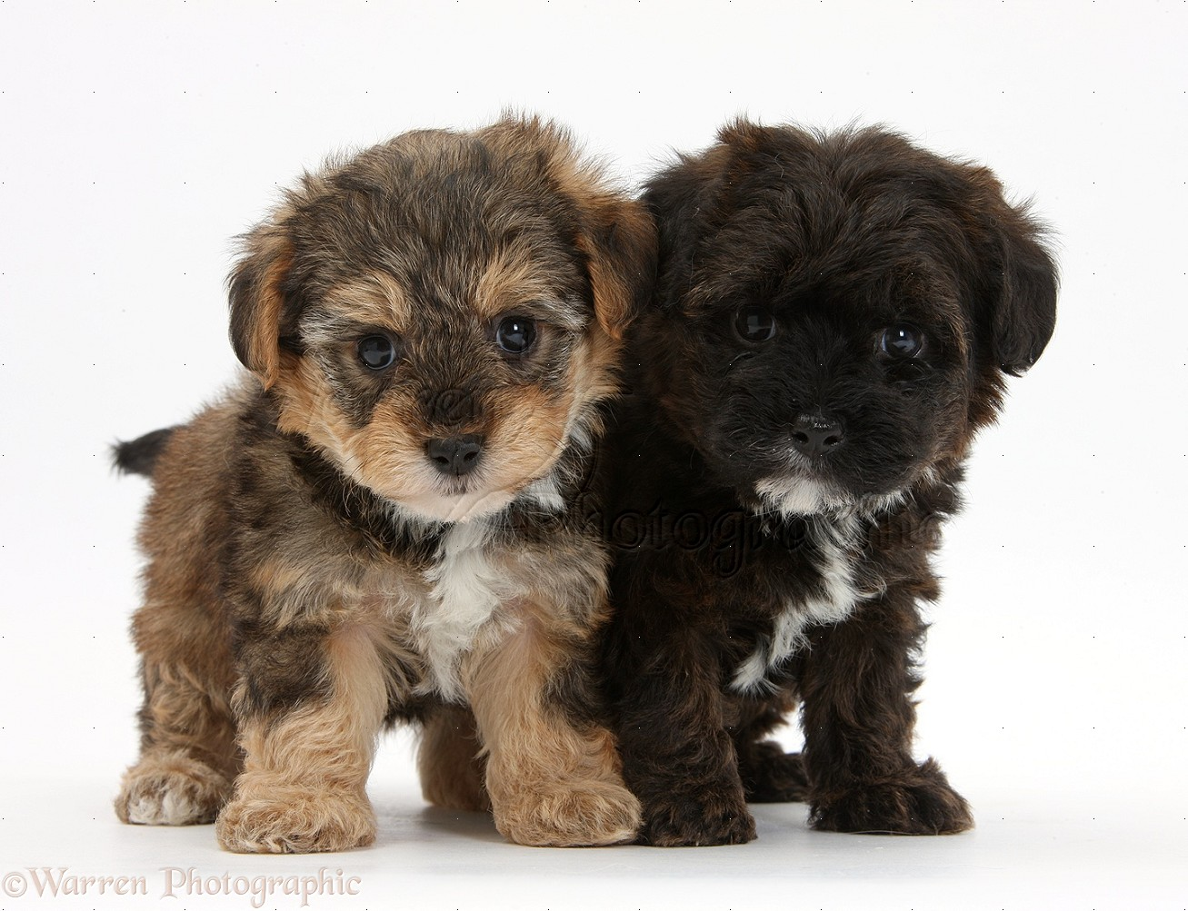 Is A Yorkie Poo A Small Dog