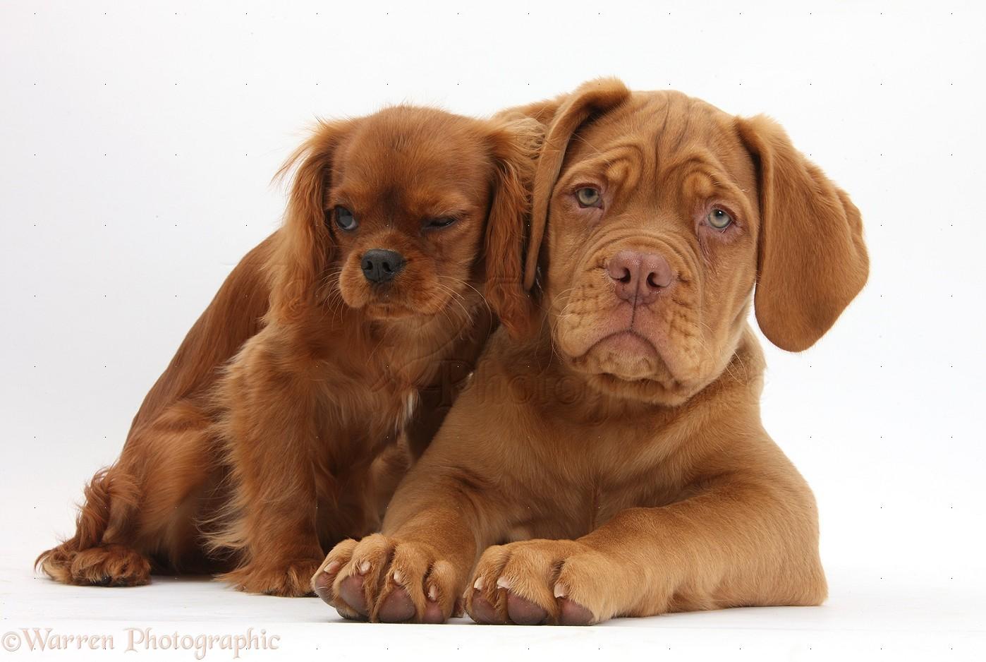 Dogue de Bordeaux pup and ruby Cavalier photo WP33919